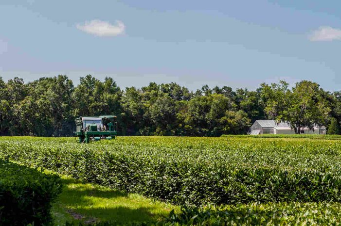 Yes, America Has A Working Tea Plantation. We Visited It – NPR