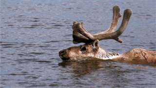 World's largest reindeer herd plummets