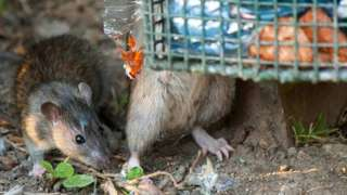 Leptospirosis kills one and strikes two others in New York